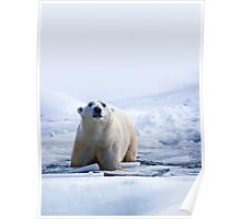 Polar Bear mistaking me for a baby seal Poster