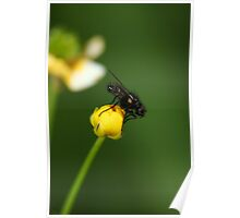 Little fly on a buttercup Poster