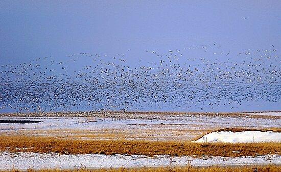 Snows & Blues Migration  North ! by Jan Siemucha