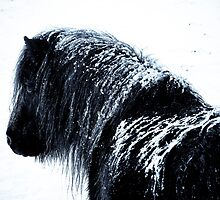 Shetland pony in the snow by Frances Taylor
