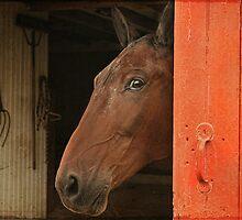 Amish Horse by Pat Abbott