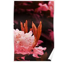 Rhododendron in bloom Poster