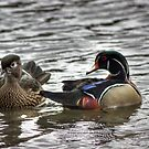 Wood Ducks...A Regular Couple by Jamie  Green