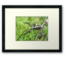 Golden Writing Spider - Argiope aurantia Framed Print