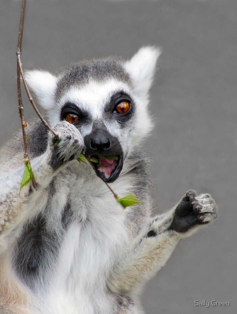 Ring tailed Lemur by Sally Green