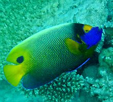 Maldives Underwater: Yellowface Angelfish by presbi