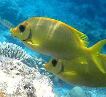 Maldives Underwater: Coral Rabbitfishes by presbi