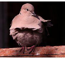 The Collared Dove Photographic Print
