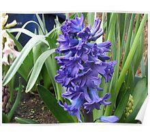 Mood Indigo - Spring Hyacinth Poster