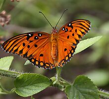 Gulf Fritillary Butterfly by Gail Falcon