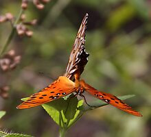 Butterfly Love by Gail Falcon