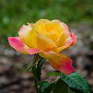 A rose by 29Breizh33