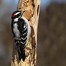 Downy Woodpecker on a Dead Tree Trunk by Robert Miesner