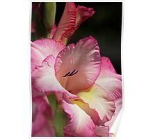 Gladiolus In Pink Poster