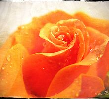 Orange rose by Olga