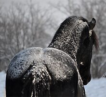 Friesian Stallion with frosting by Laurie Zaporzan