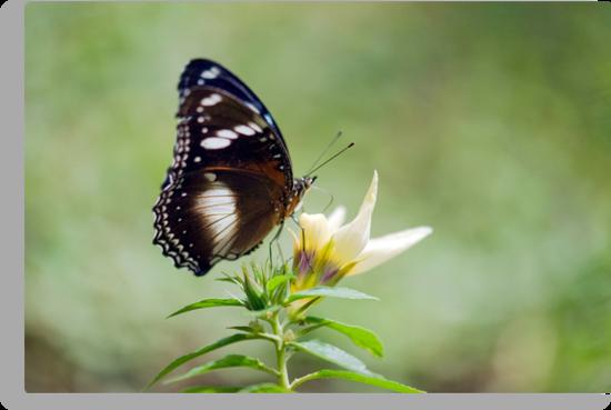 Sweet As - butterfly in Innisfail. by Jenny Dean