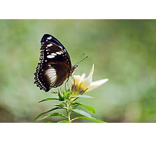 Sweet As - butterfly in Innisfail. Photographic Print