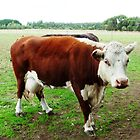 Hereford Cow - farm at Kirkstall by EdsMum