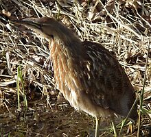 Stalking Bittern by MischaC