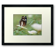 The Poser - common crow butterfly Framed Print