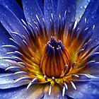 Water Lily  Lismore Northern Rivers NSW by HookedOnArt