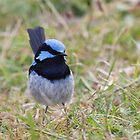Superb Blue Wren in the grass by Will Hore-Lacy