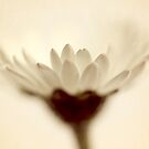 Daisy Blur by lorrainem