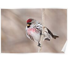 Common Redpoll - almost ready to leave. Poster