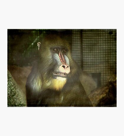 Day Dreamer-Mandrill Baboon ©  Photographic Print