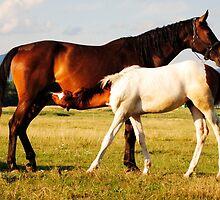 Foal suckling by donodela