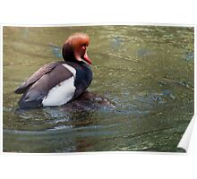 Red Crested Pochard (Mating Ritual) Poster