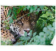 The Jaguar (Panthera onca) Big Cat Poster