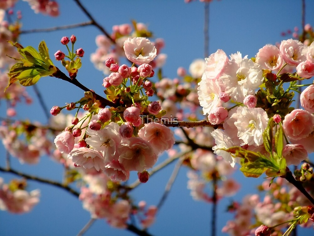 Cherry blossom, Spring morning sky by Themis
