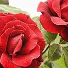 Morning Roses by Alexander Butler