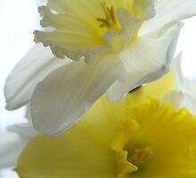 Daffodils in Bloom by Brad Sumner