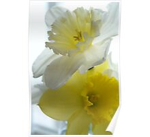 Daffodils in Bloom Poster