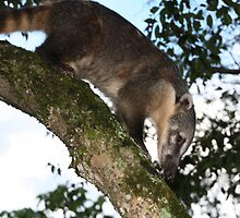 Coati by Carol Bock