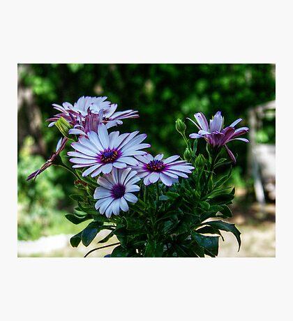 Anemone Hortensis White Flower Photographic Print