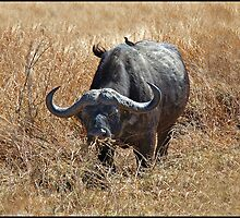Cape Buffalo with Oxpecker. by ten2eight