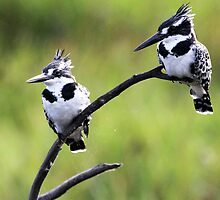 Pied Kingfisher by ajay2011