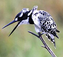 pied kingfisher talks by ajay2011