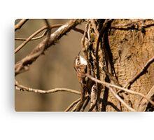 Tree Creeper  Canvas Print