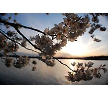 Cherry Blossoms on the Potomac  Photographic Print