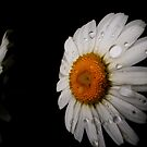 """ Daisy Dew Drops""- Trout MaGee by TroutMaGee"