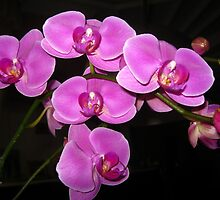 Purple Phalaenopsis  by sstarlightss