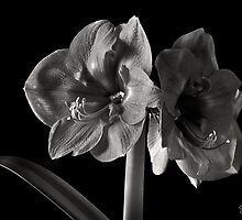 Fancy Amaryllis in Black and White by Endre