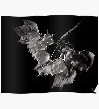 Dombeya in Black and White Poster