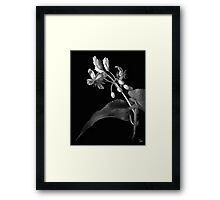 Sparmannia Africana in Black and White Framed Print