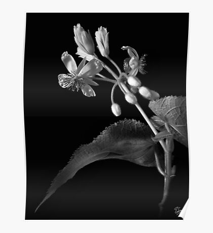 Sparmannia Africana in Black and White Poster